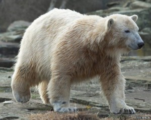 Knut died in the March of 2011 at the age of four years